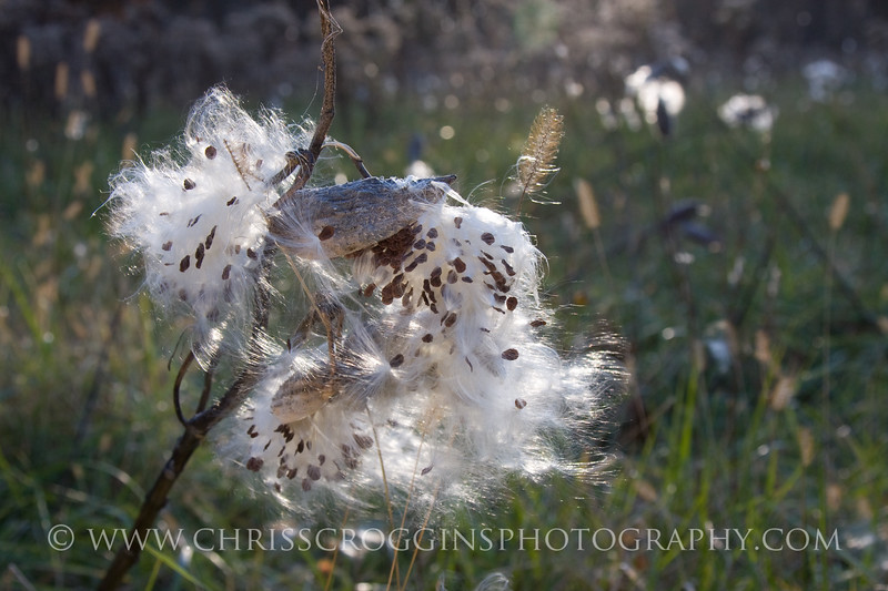 Milkweed Seed Pods in Meadow, <br /> Oregon Ridge Park,<br /> Baltimore County, Md.