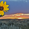 Sagebrush & Sunflower Sunset