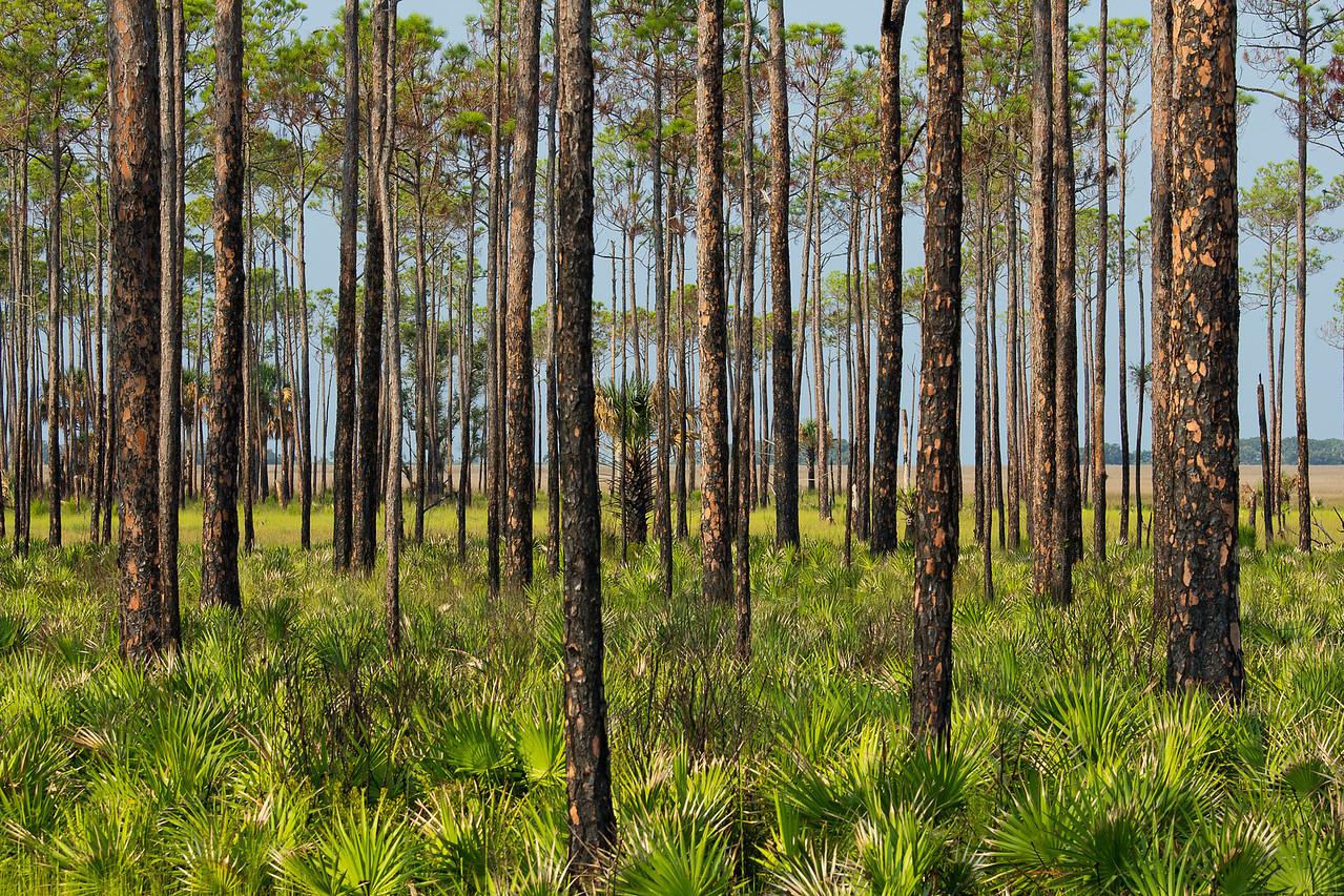 Burned Longleaf Pine and Saw Palmetto - St. Marks NWR, Florida