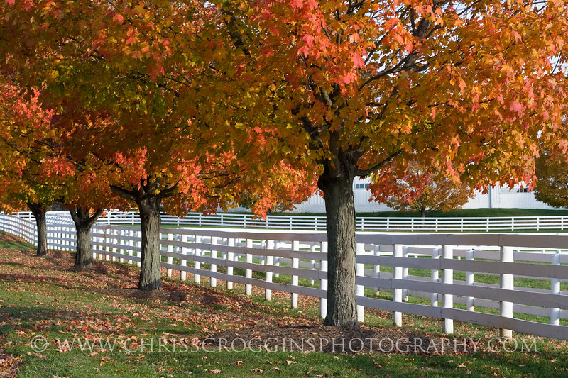 Maple Trees on Belmont Road