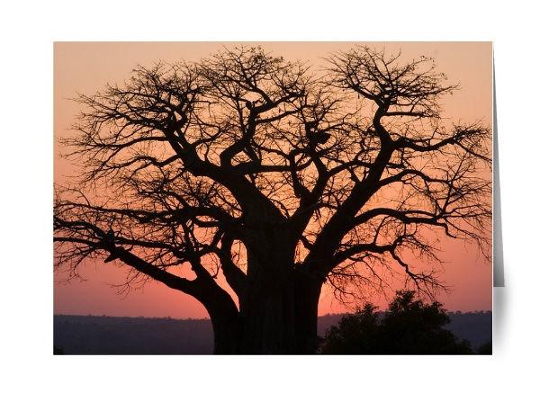 Baobab Tree Sunset