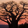 African Baobab Tree at Sunset