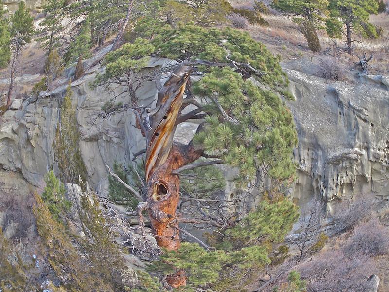 Knarly Pine