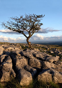 Lone tree in limestone, Prior Rakes, Malham.