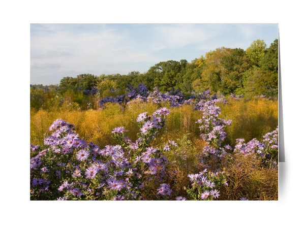 Purple Aster Field