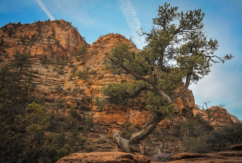 Pine, Zion National Park