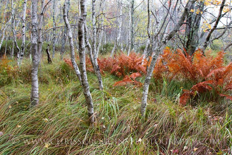 Silver Birch Trees 2