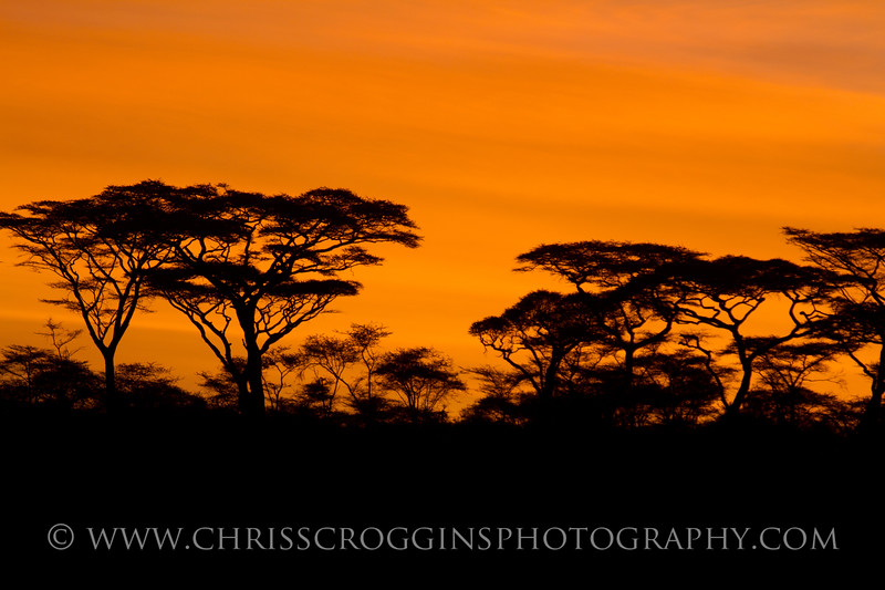 Africa Acacia Trees at Dawn