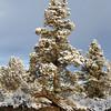 Snow and Juniper Trees 2