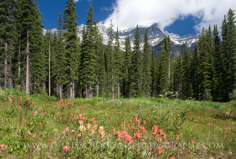 Indian Paintbrush Flowers in Banff
