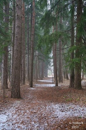 A walk through the pines, Orchard Trail, Rouge Park
