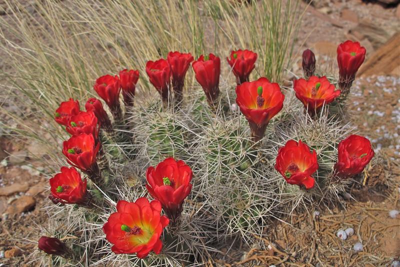 Utah cactus