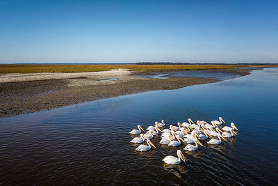 White Pelicans on Amelia River Copyright 2020 Steve Leimberg UnSeenImages Com _0006