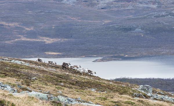 Reindeer at Kilpisjärvi