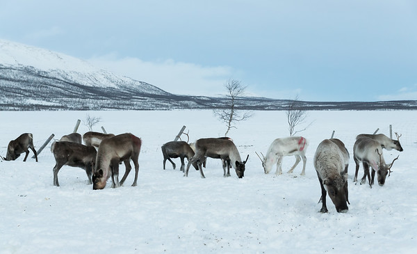 Reindeer herd at Kilpisjarvi