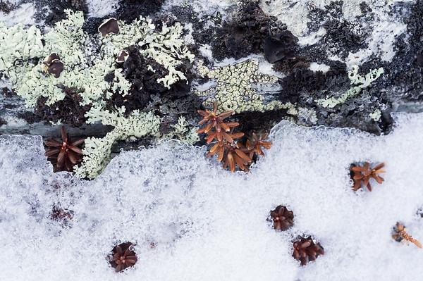 Lichen and Mountain Bilberry