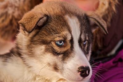 Das ist Sayo, eine kleine Siberian Huskyhündin. Ihr Name bedeutet, die in der Nacht geborene. This is Sayo, a little Siberian Husky. Her Name means: born in the night.  - mehr dazu im Blog: Lappland bei -30°C