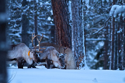 Rentiere auf Futtersuche / Reindeers looking for food