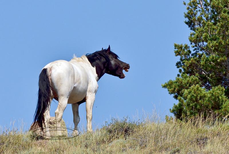 H-2018.7.7#2418. Wild Horse. Wyoming.
