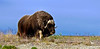 MO-2007.8.5#898a6a. An old lone Muskox bull far out  on the Coastal Plain of the North Slope Alaska.