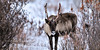 Alaska Barren Ground Caribou. Eastern Alaska Range, Alaska. #104.109. 1x2 ratio format.