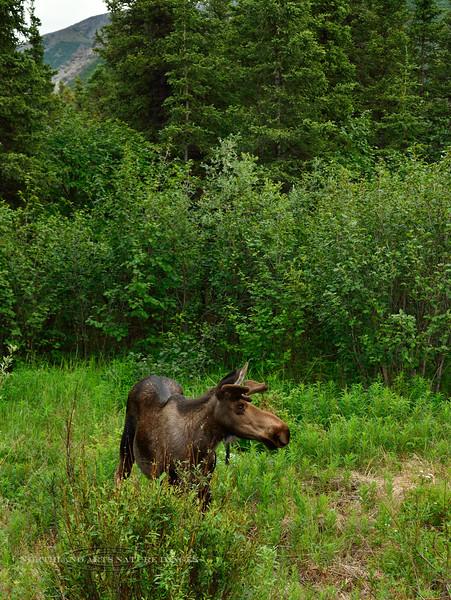 M-2014.6.30#195a. A young Alaska bull moose. Healy Alaska.