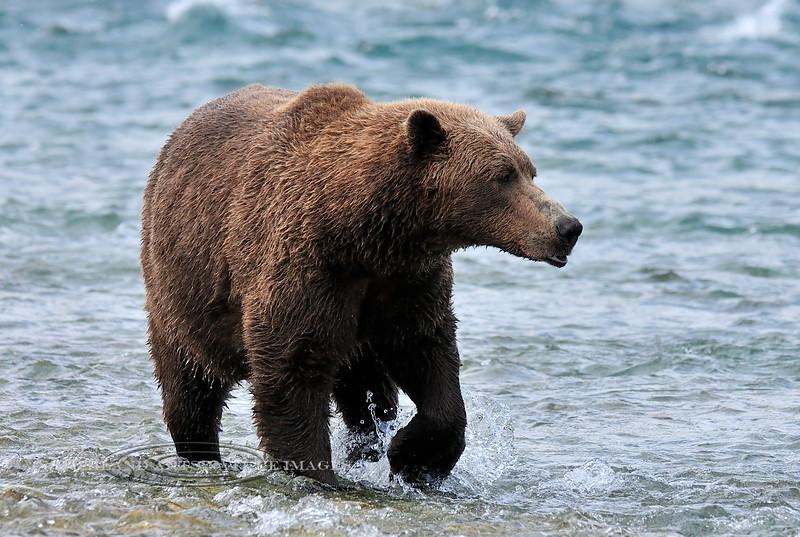 BBR-2010.8.12#136. Brown Bear. near Enders Island, McNeil River, Alaska Peninsula, Alaska.
