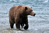 Bear, Brown. Alaska Peninsula, Alaska. #812.136.