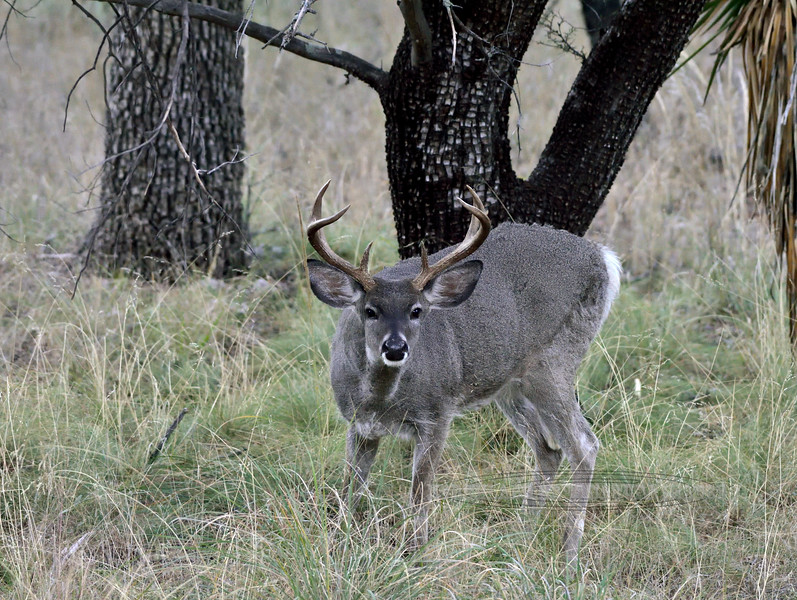 DC-2018.11.14#401. Coues Whitetail Deer. Another real good mature buck. Arizona.