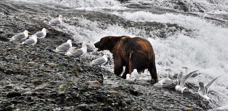 BBR-2010.8.13#070. Brown Bear at McNeil River falls, Alaska.