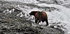 Brown Bear. McNeil River,Alaska. 1x2 ratio format. #813.070. 1x2 ratio.