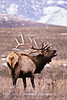 33-1985.3.4#5. A Rocky Mountain Elk bugeling. Scanned from old film stock. Mission Valley, Nat.Bison Range Montana. See newer digital images in the Elk section further on in this gallery.