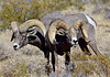 SBHD-2019.10.13#480.3. Desert Bighorn rams grazing on grass and shrubs. Photo by Guy J.