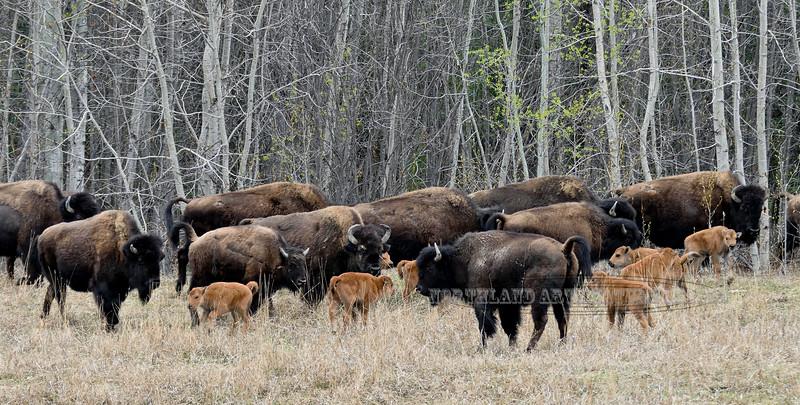 Bison, Wood. Alaska Highway. 516.837.