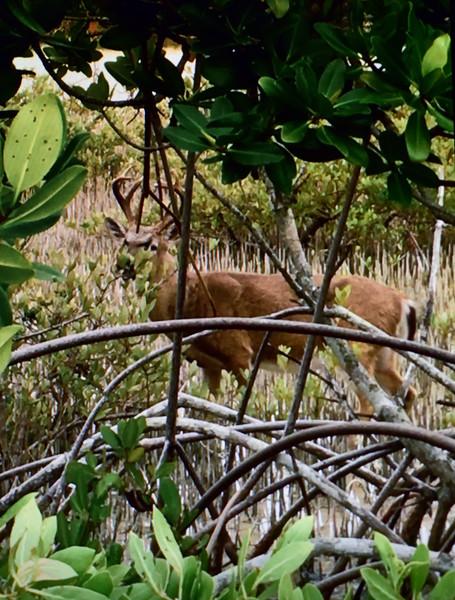 DK-2020.1.27#4235. Keys Whitetail buck. Big Pine Key, Florida. Photo by Guy J.
