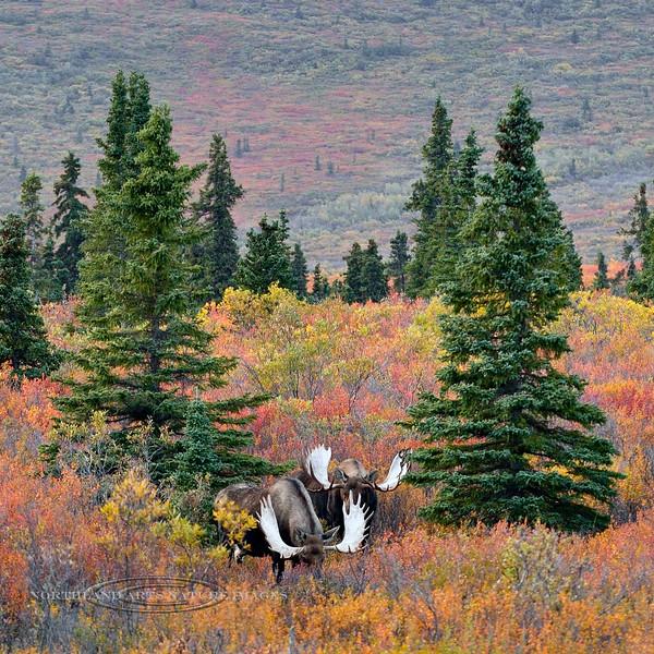 M-2015.9.5#047. Alaska Moose. Eleven mile, Denali Park Alaska.