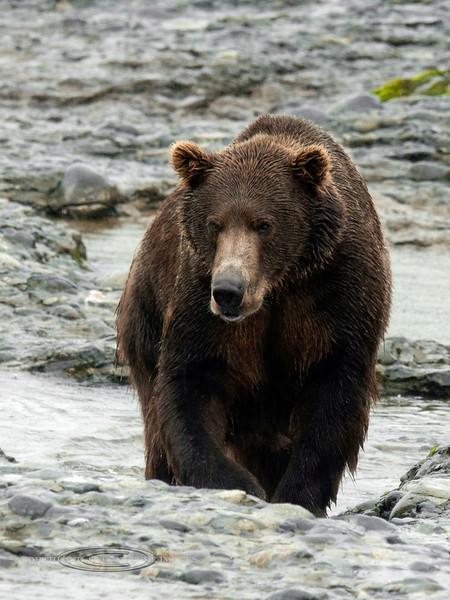 BBR-2010.8.13#194. A large boar Brown bear near McNeil river falls, Alaska.