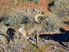 SBHD-2021.2.21#5601.2. A pretty nice Desert Bighorn ram is up and feeding into the direction of the setting sun.
