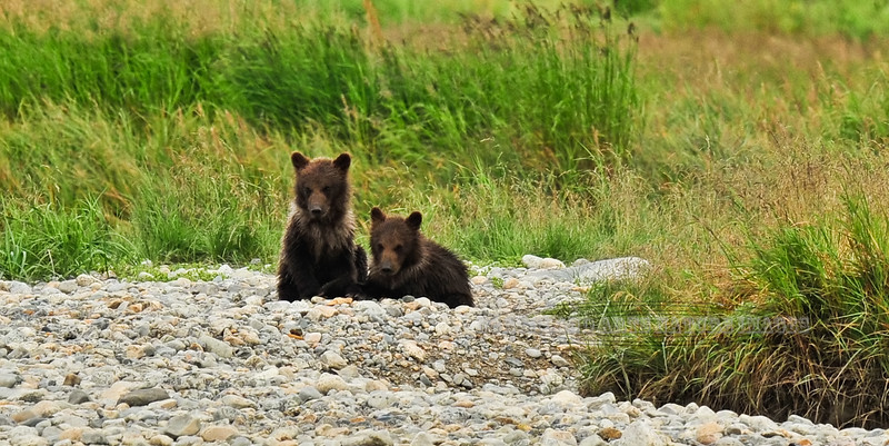 "A pair of ""springer"" Brown bear cubs are waiting for mom to catch another salmon. Near Enders island, McNeil river, Alaska. #812.391. 1x2 ratio format."