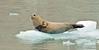MMHS-2016.8.4#858. Harbor Seal on an Iceberg . Kenai Fjords Alaska.