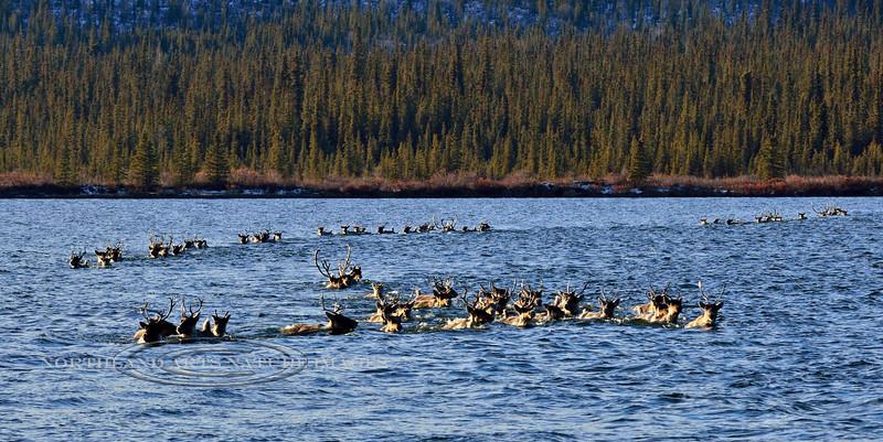 C-2014.10.15#209. Caribou on fall migration. Alaska.