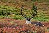 C-2012.8.21#178.3X. Two really special Barren Ground Caribou bulls. Denali Park Alaska.