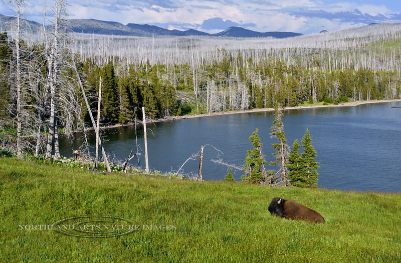 BP-2018.7.4#5971.2. A Plains Bison Bull resting near Yellowstone Lake Wyoming.
