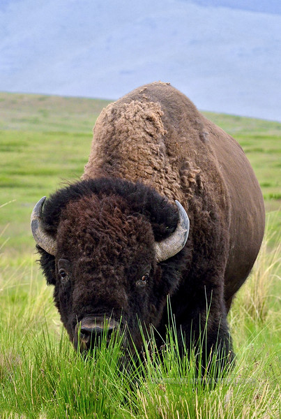 BP-2015.5.16#435. A big Plains Bison bull on the Nat. Bison Range, near Charlo Montana.