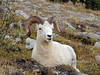 SD-2007.9.1. A Dall ram I was familiar with for several years but this was the last time I saw him. Denali Park Alaska.