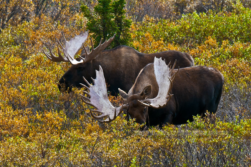 M-2010.8.26#032. Fresh out of velvet in early fall. A pair of large old mature bull moose are still feeding in late afternoon a couple of weeks before the rut will begin. Seven mile, Denali Park Alaska.