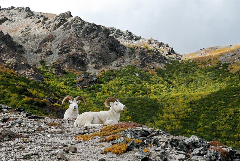 SD-2008.9.5#169- Sheep, Dall. Savage Canyon, Denali Park Alaska.