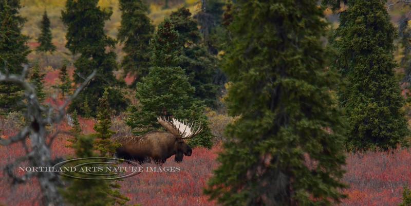 M-2014.9.9#523. A magnum bull moose like this doesn't show himself often. Eleven mile, Denali Park Alaska.