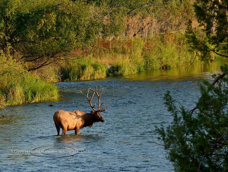 E-2017.9.12#2923. A Rocky Mountain bull Elk in Mission Creek. Nat. Bison Range, near Charlo Montana.