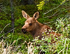 M-2011.6.15#170. Alaska moose calf. Riley creek campground, Denali Park Alaska.